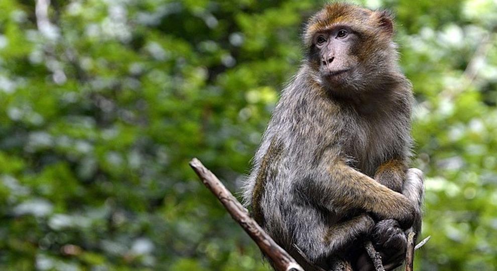 Volkswagen: dopo il Dieselgate, ora i test sulle scimmie